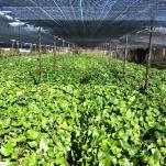 云南丽江山葵种植基地
